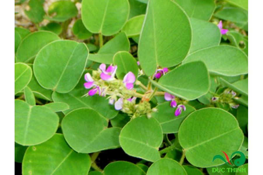 Kỹ thuật trồng kim tiền thảo cho năng suất cao để chữa bệnh sỏi thận sỏi mật