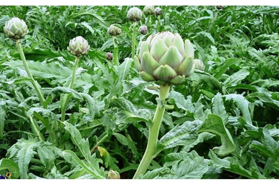 Chế biến món ăn dưỡng khí trợ tim từ hoa Atiso