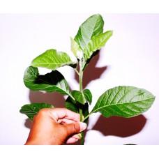 Tác dụng của cây Lá đắng (lá mật gấu)