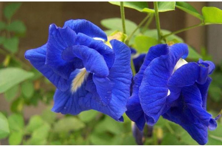 Những tác dụng và cách sử dụng đúng sẽ bất ngờ từ hoa đậu biếc